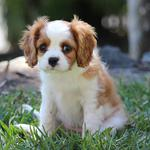 Puppy, eyes, facial expressions, grass, cute puppy wallpaper