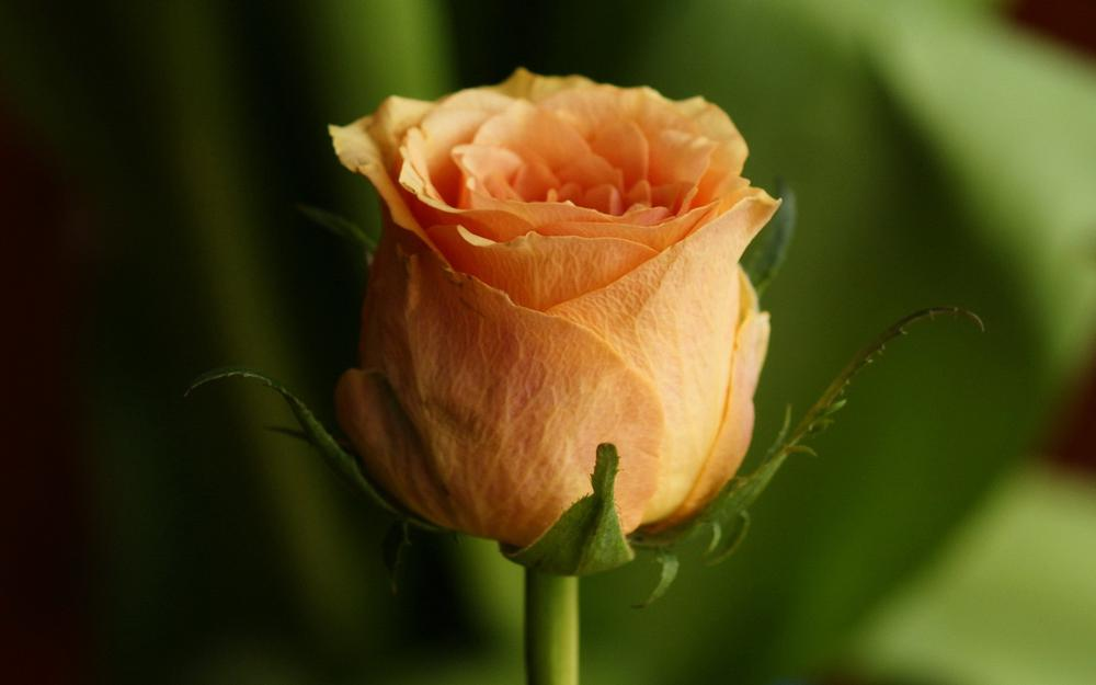 Rose, bud, petal pictures, roses wallpaper