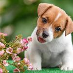 Jack russell terrier puppy, flowers, wallpaper