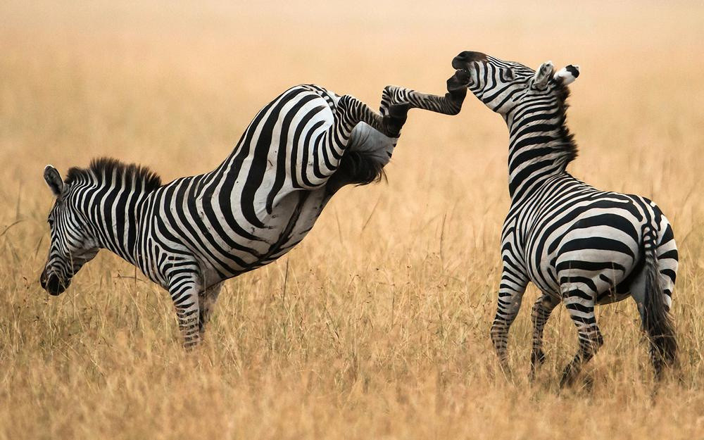 Hoofs, zebra, the situation, the impact
