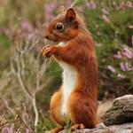 Forest red squirrel, cute standing, rock, red squirrel wallpaper