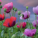 Flowers, poppies, pink, red, poppy flower wallpaper
