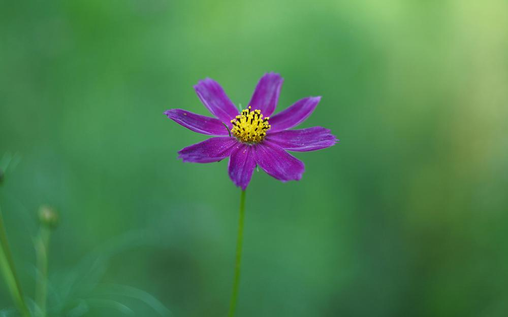 Cosmos, cosmos, coreopsis, purple flowers, green background, wallpaper