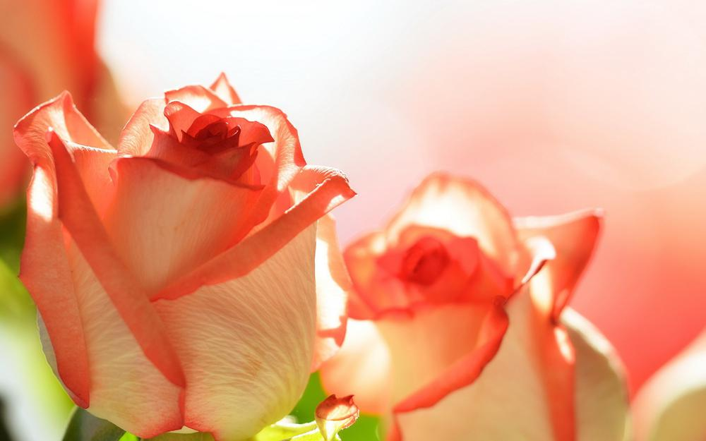 Pink roses, flowers, roses wallpaper