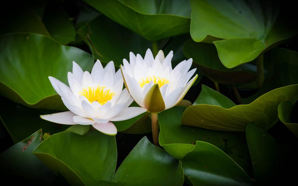 Water, leaves, water lily, bloom, water lily wallpaper