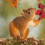 Squirrels, eating strawberries, berries, nature, woods, cute little squirrel wallpaper