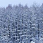 Snow, trees, branches