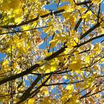 Leaves, yellow, maple, branches, autumn wallpaper