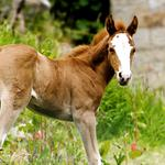 Horse, grass, colt, green, tail, red, face