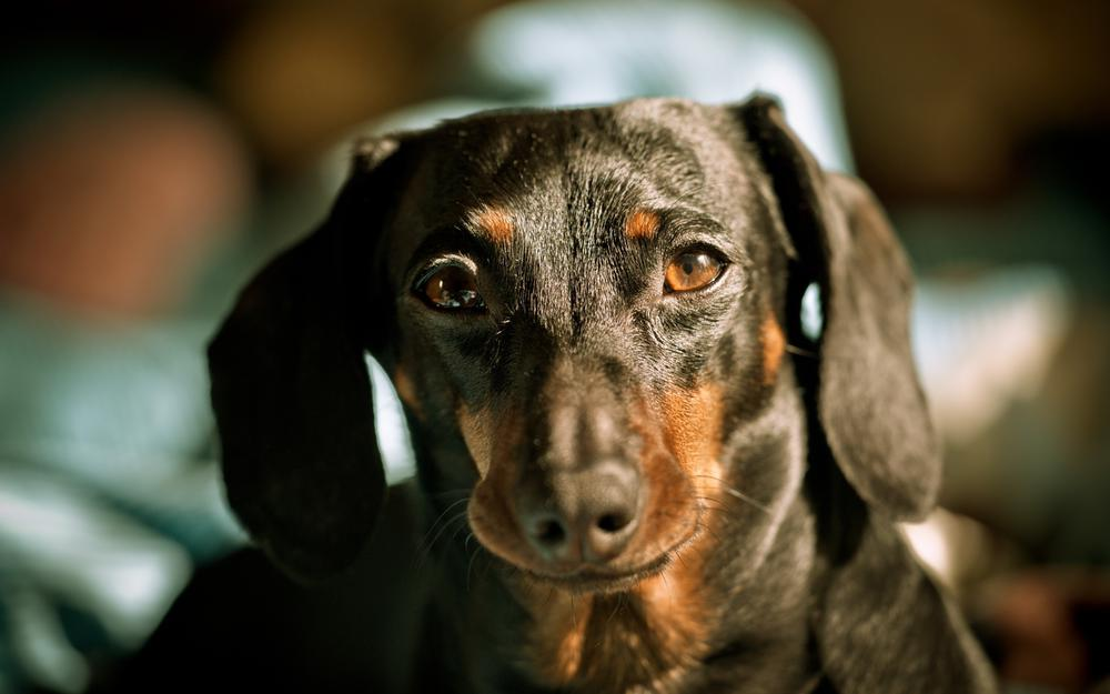 Dachshund dog look