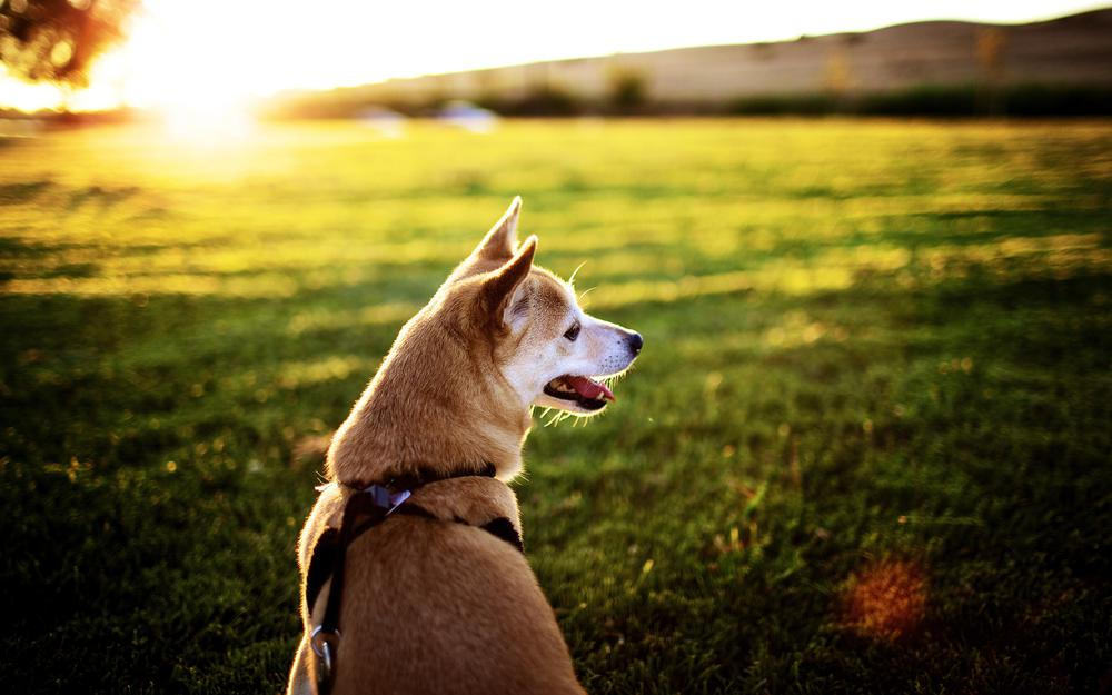 Muzzle, dog collar, sun, sex, language, rays, pictures, sunset