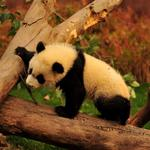 Branch, panda, animal, trees, bear