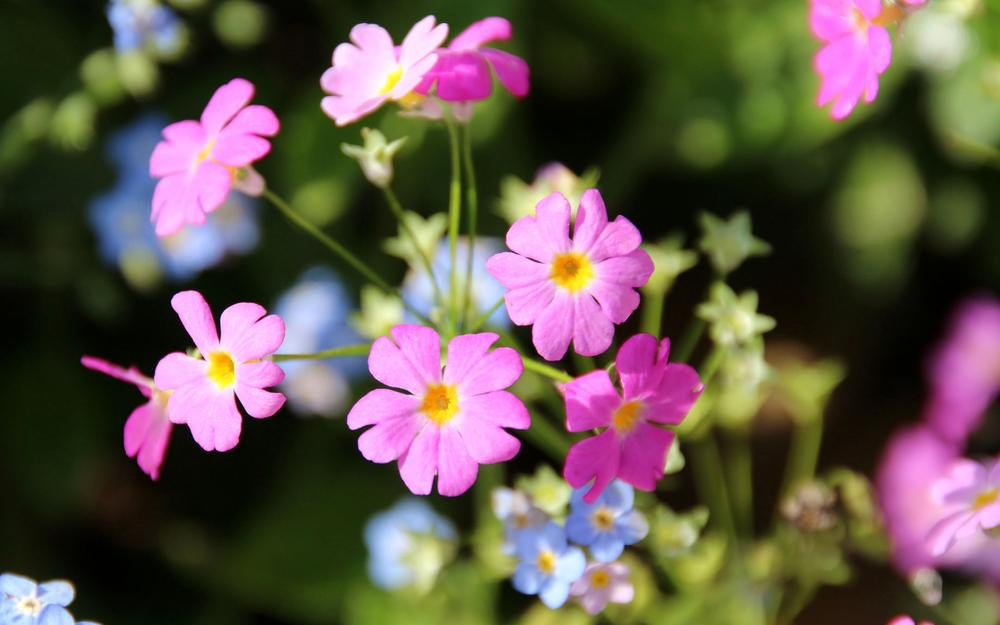 Inflorescence, petals, nature pictures, pink flowers wallpaper