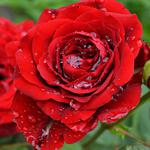 Red roses, shrubs, flower petals, water drops, wallpaper