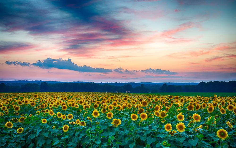 Sunflower flowers in the evening sunset clouds landscape wallpaper