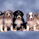 Puppies, collie small, shepherd, five