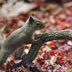 Squirrels, branches, leaves, cute squirrel wallpaper