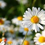 Chamomile meadow flowers