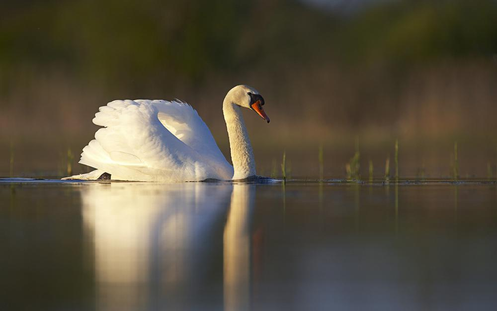 White, grass, bird, reflection, sunset, surface, swan, lake, pond