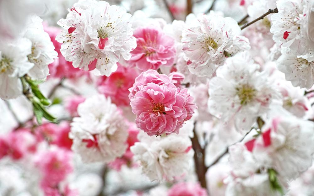 Pink and white flowers desktop background