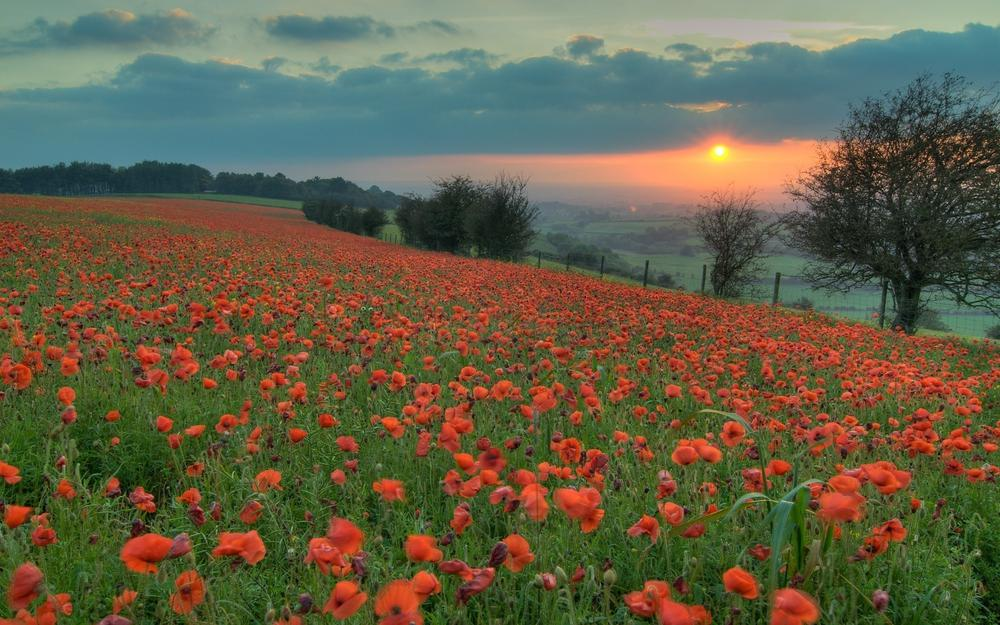 Sun, poppies, evening, field, orange, sunset, flowers, red