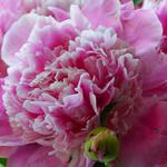 Pink peony close-up wallpaper