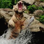 Tiger, water, mouth, spray