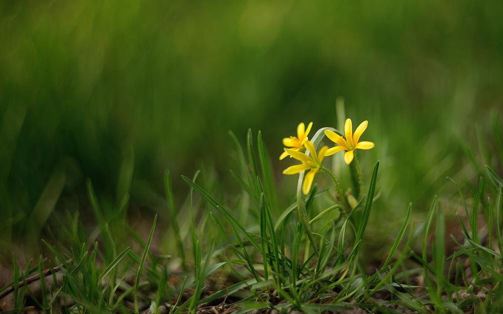 Grass, green, yellow flowers, computer wallpaper