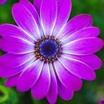 Purple flower petals natural wallpaper
