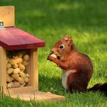 Eating peanuts on the grass squirrel wallpaper