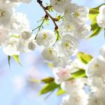 Spring, flowers, petal, cherry tree, branch, cherry computer wallpaper
