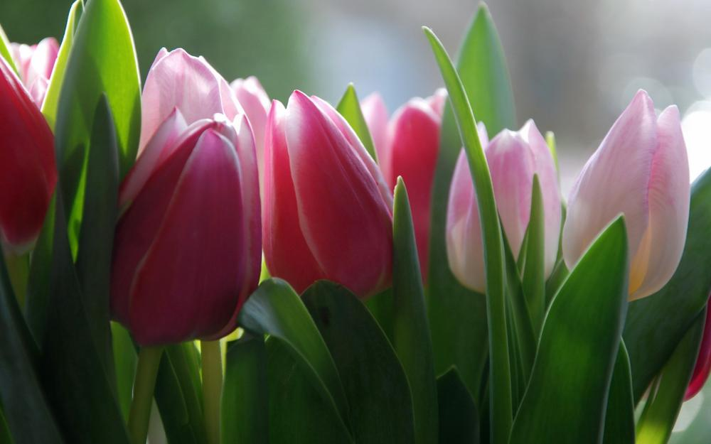 Flowers, tulips, background images, wallpaper