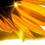 Sunflower petals sun rays wallpaper
