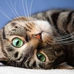 Cat's eyes whiskers cat lying close-up wallpaper