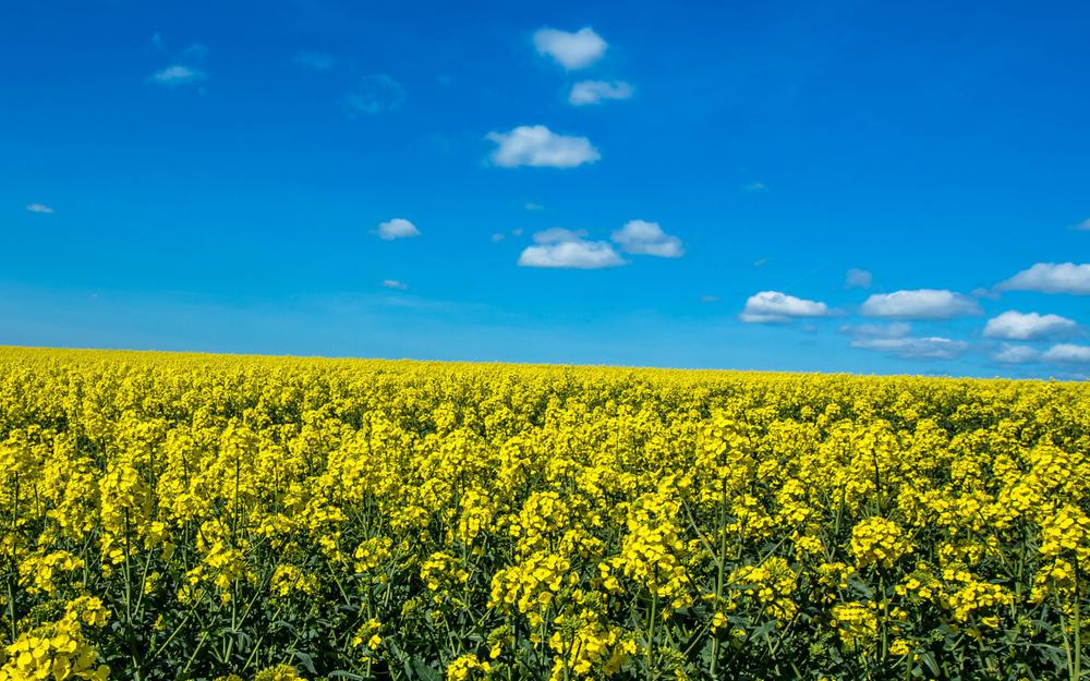 Sky, clouds, flowers, rapeseed, scenery pictures wallpaper