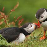 Two puffin kiss wallpaper