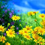 Daisies, yellow, flower, flowers, field of flowers, wallpaper