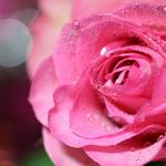 Pink roses, water droplets, hd wallpaper