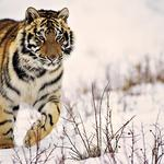 It goes, winter, striped, snow, tiger