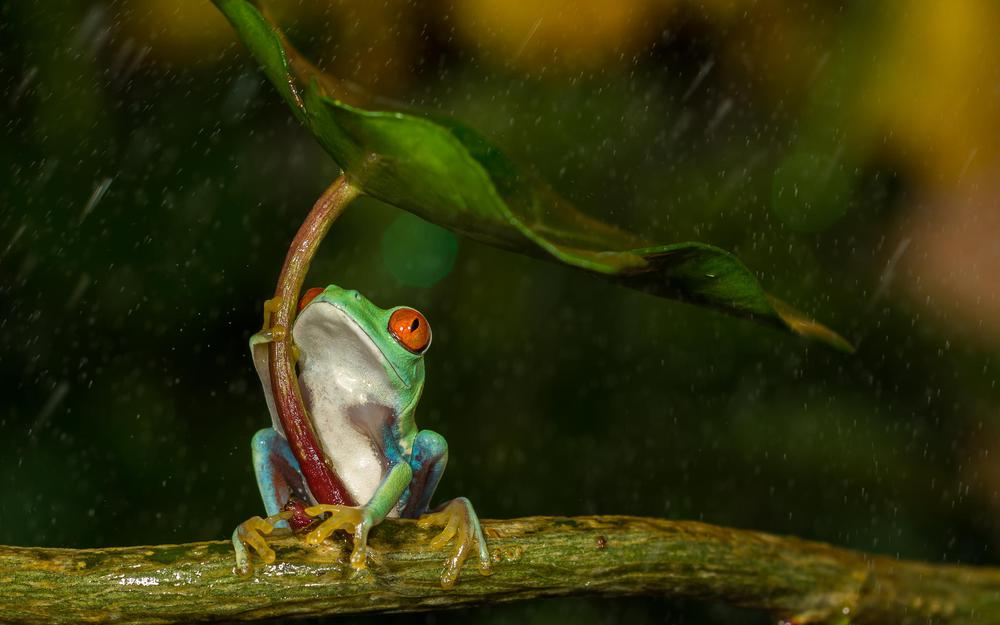 Rain, leaves, branches, red-eyed tree frog, frog, drop