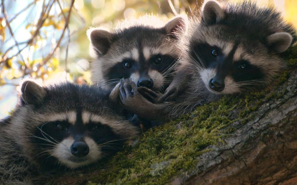 Raccoons, little eyes staring