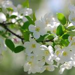 Pear, bloom, branch, pear close-up wallpaper