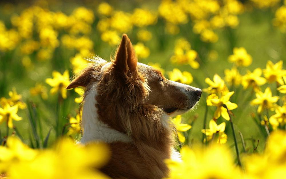 Dog, face, flowers