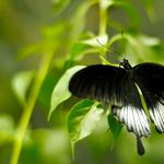 Black, butterfly, black and green