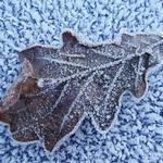 Leaf, rime, oak
