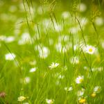 Camomile,grass,desktop wallpaper