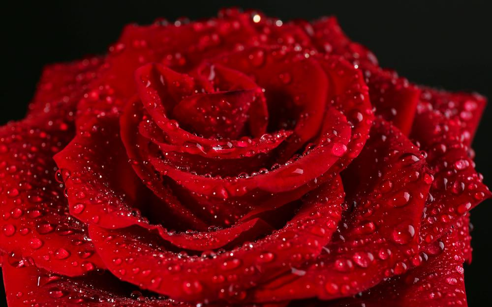 Drops, rose, red, flower