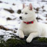Husky, winter, dog
