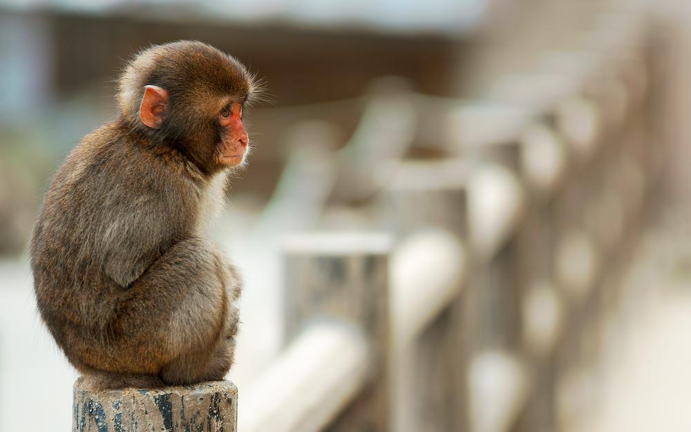 Monkey, sitting, macaque