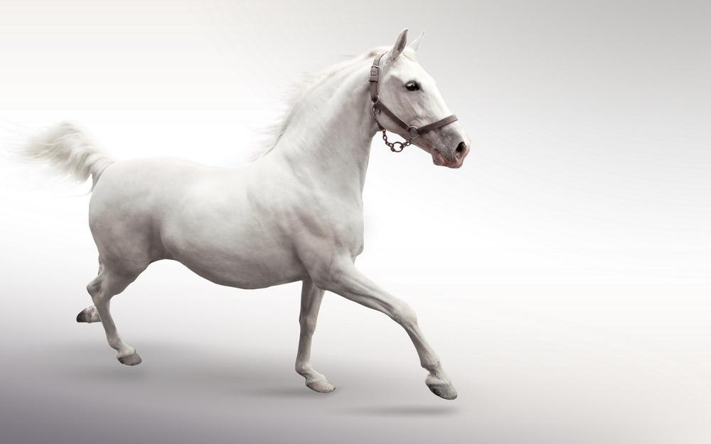 White horse, on a white background, gallops